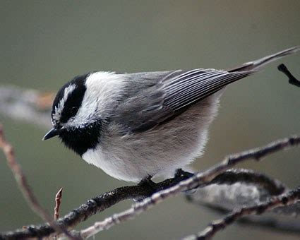 mountain chickadee identification all about birds