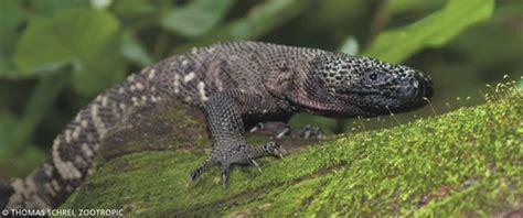 guatemalan beaded lizard exo terra conservation project heloderma