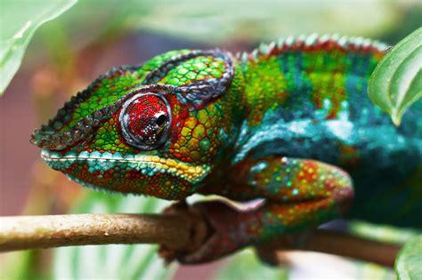 colorful chameleon colorful chameleon by aekschen on deviantart
