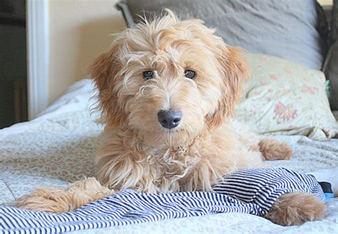 golden retriever cross poodle wine country goldendoodles sebastopol ca sf bay area and beyond