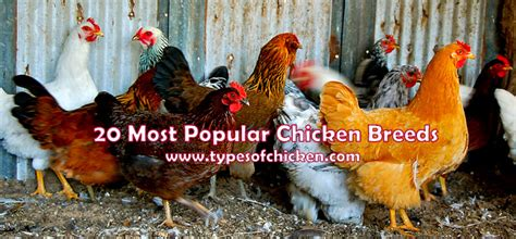 Chickens For Eggs In Backyard 20 Most Popular Chicken Breeds Great Addition To Your