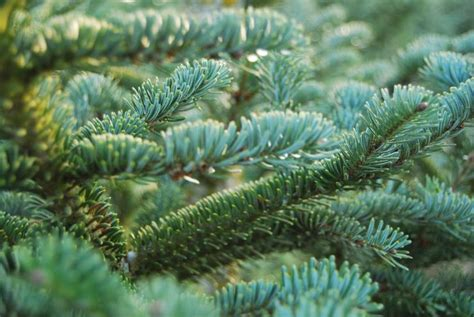 best christmas tree species how to buy a real tree selection care and safety tips to the best