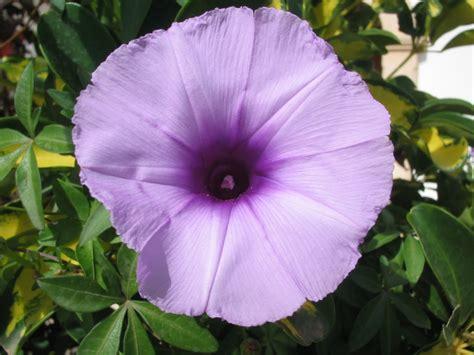 imagenes rosas violetas im 225 genes de flores y plantas violeta