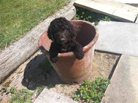 water spaniel puppies for sale water spaniel puppies for sale royston hertfordshire pets4homes
