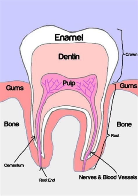 diagram teeth human teeth diagrams to print diagram site