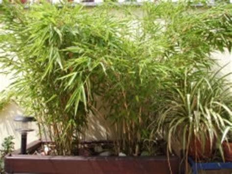 Bambus Im Balkonkasten by Mediterrane K 252 Belpflanzen Winterharte Pflanzen F 252 R K 252 Bel