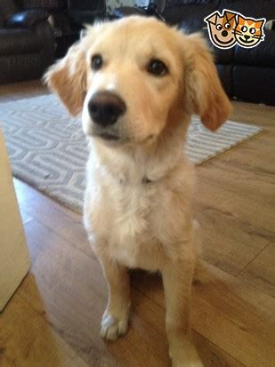 oldest golden retriever record 4 month golden retriever pup loughborough leicestershire pets4homes