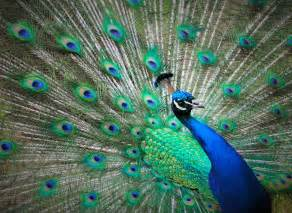 peacock blue free photo peacock blue feathers green free image on