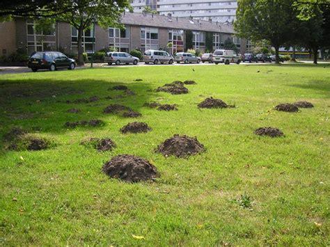 Maulwurfplage Im Garten 1561 maulwurfplage im garten maulwurf vertreiben