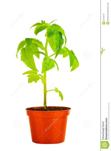 pianta di pomodoro in vaso la piantina di giovane pianta di pomodori in vaso da fiori