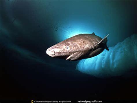 Sleeper Sharks fish index greenland shark somniosus microcephalus