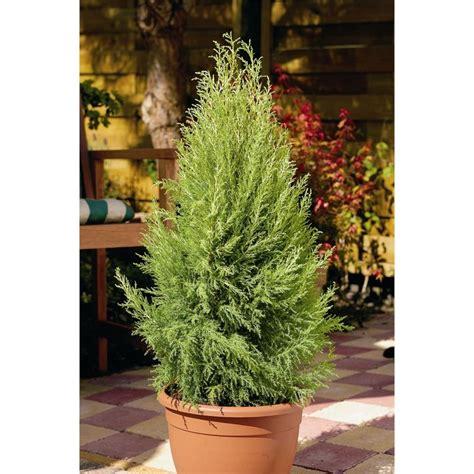 mm wilma lemon scented conifer cupressus macrocarpa