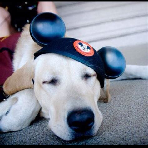 dogs at disney world i found this on the disney page it s a service taking a rest from his