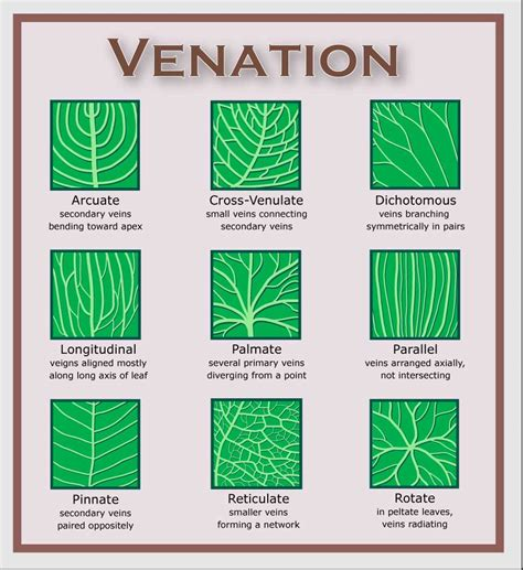 vein pattern meaning image gallery leaf veinations