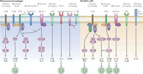 pattern recognition receptors yeast acta dermato venereologica host defence against candida