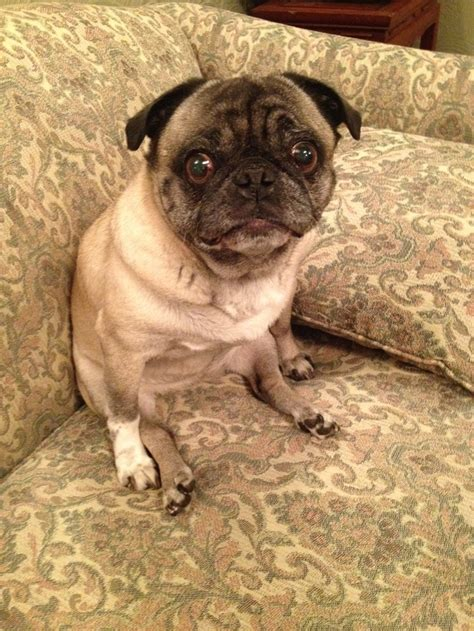 pugs and other dogs my pug lilly pugs other dogs