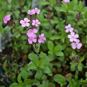 Spring Table Linens - rock soapwort saponaria ocymoides