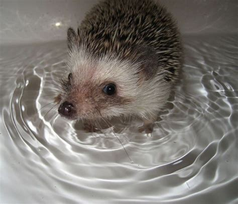 hedgehog bathtub hedgehog in the bath hedgehogs pinterest