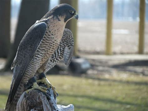 125 best images about birds of prey on pinterest back to