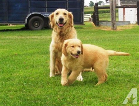 golden retriever puppies available now purebred golden retriever puppies available now for sale in iowa city iowa classified
