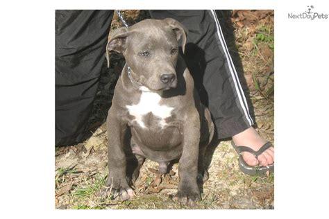 pitbull puppies for sale in arkansas american pit bull terrier puppy for sale near rock arkansas 131e4a69 95e1