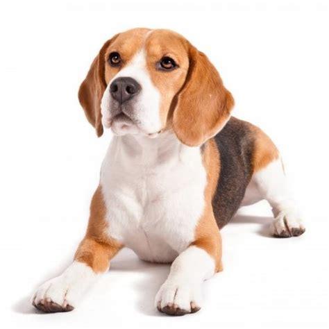 beagle alimentazione beagle caratteristiche e foto