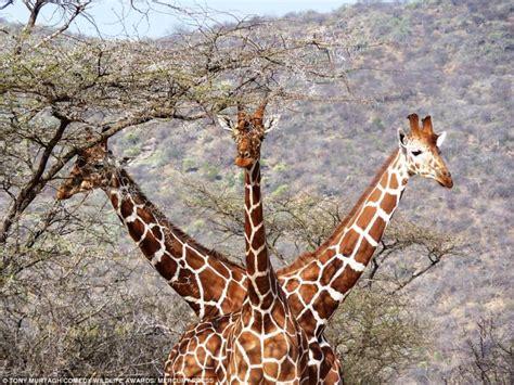 tre teste giraffa a tre teste le foto piu divertenti regno