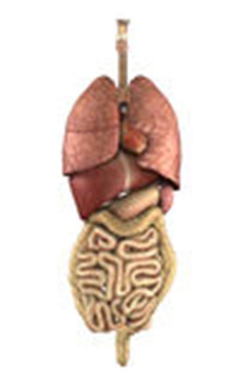 anatomia umana immagini organi interni gli organi interni appoggiano la vista immagine stock