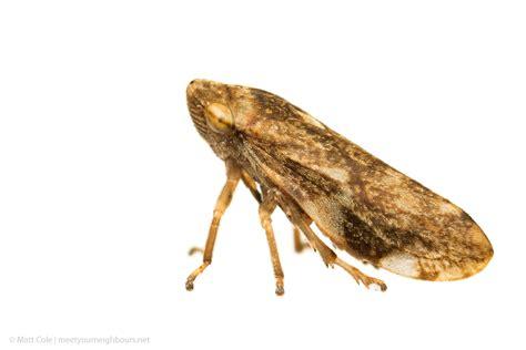 MYN Common Froghopper - Philaenus spumarius
