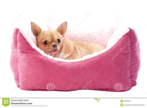 chihuahua beds chihuahua and dog bed stock photo image of sleeping