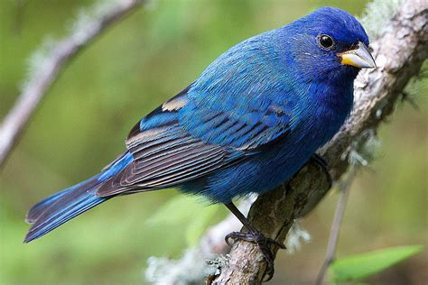 How To Attract Indigo Buntings To Your Backyard by How To Attract A Specific Bird To Your Yard