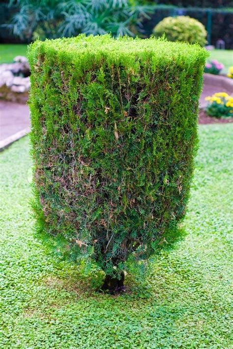 topiary trimmed bush in the garden at summer stock photo