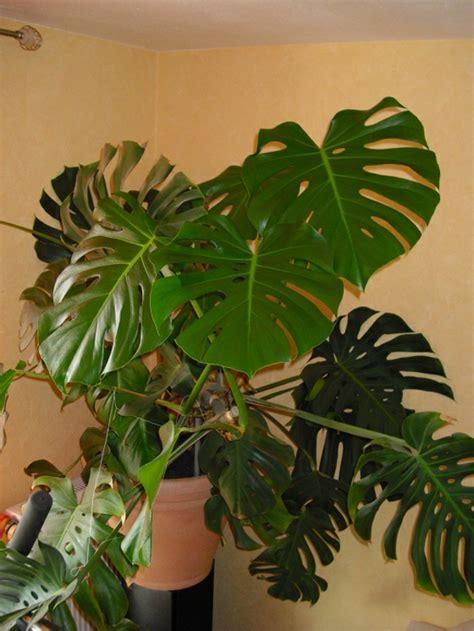 zimmerpflanzen gross pflegeleichte zimmerpflanzen 18 vorschl 228 ge archzine net
