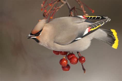 bohemian waxwing audubon field guide