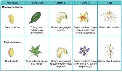 mengetahui perbedaan tumbuhan monokotil  dikotil