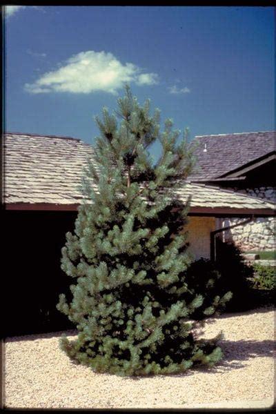 pinus sylvestris frenchblue french blue scotch pine