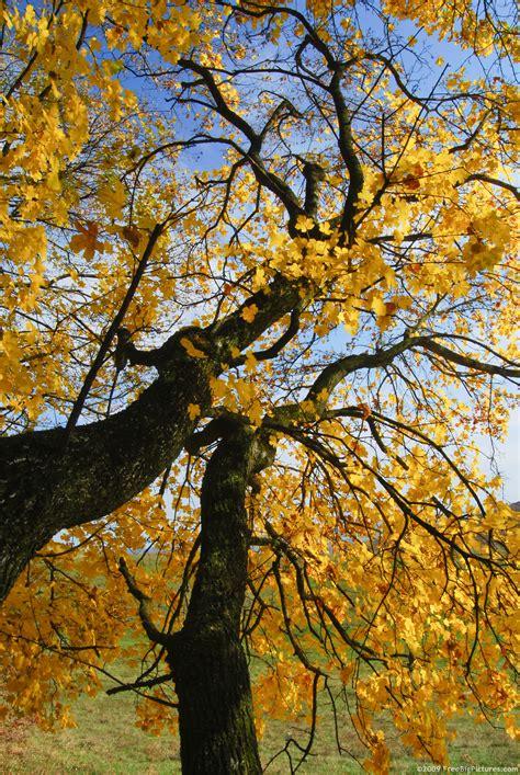 Gold Tree - golden tree