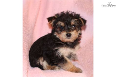 yorkie baby puppies baby yorkie poo puppies hairstylegalleries