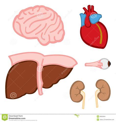 innere organe bilder innere organe stockbilder bild 28920694