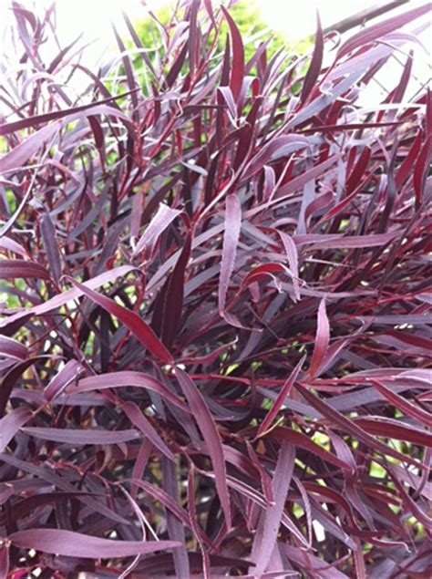cut foliage plants agonis fresh cut foliage catalog flora export s g