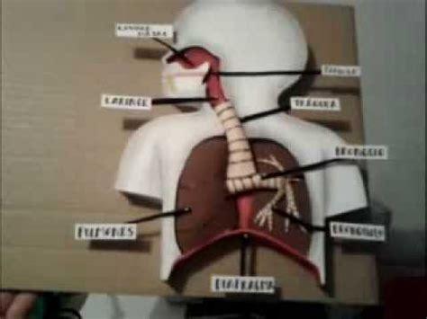 como hacer una maqueta del sistema respiratorio como hacer maqueta aparato respiratorio 3 youtube