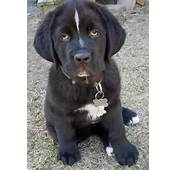 Artikel Terkait Newfoundland Lab Mix Puppies