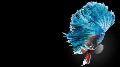 apple wallpaper betta fish betta fish wallpapers wallpaper cave