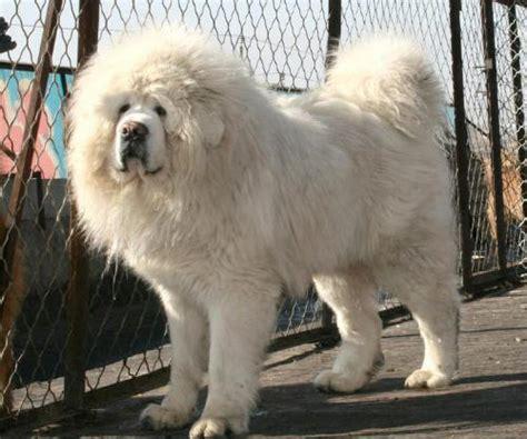 white tibetan mastiff puppies for sale tibetan mastiff info puppies sale cost facts pictures