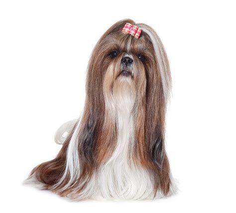 shih tzu websites chien shih tzu chien et chiot fiche de race du chien shih tzu wikichien
