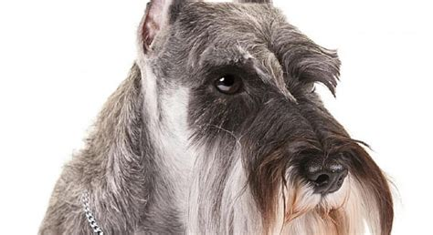 What Types Of Dogs Dont Shed by 11 Breeds That Don T Shed