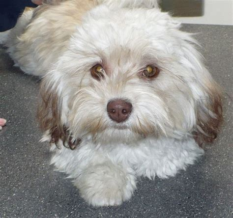 akc rules for giving a havanese a hair cut havanese havanese pinterest cheddar lost and coton