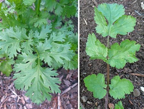 Cilantro Coriander Leaves cilantro coriander coriandrum sativum master gardener program