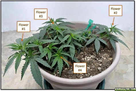 cool small palnts to grow 420legal first grow indoor blueberry 2009
