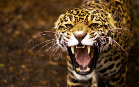 gambar jaguar nama hewan buas dari huruf j binatang